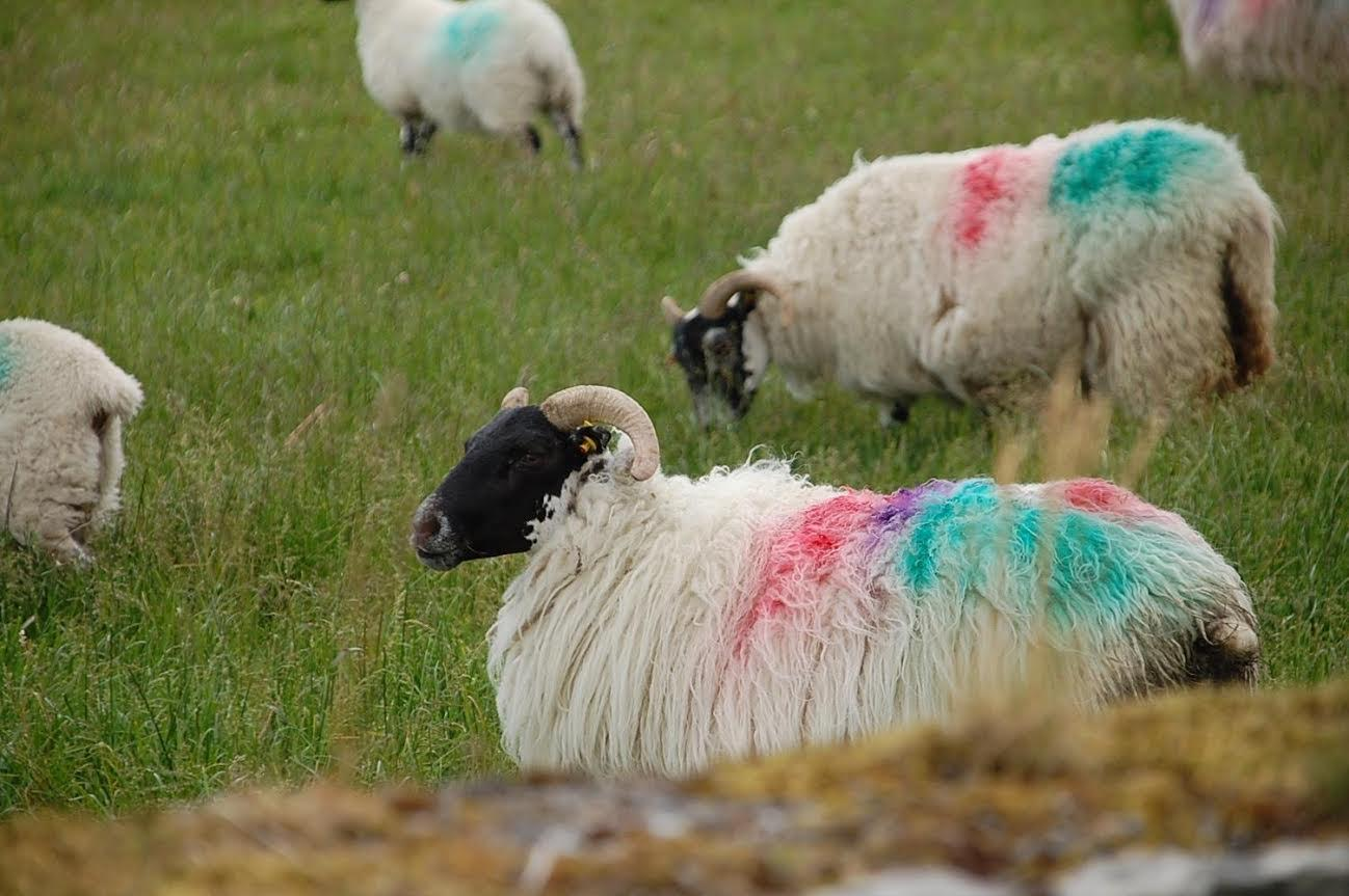 Sheep with Bright Colors on them